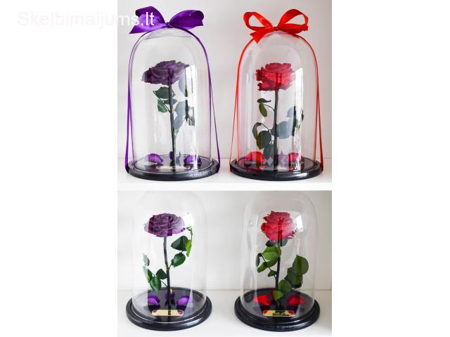 Mieganti rožė po stiklu